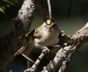 Golden-crowned Kinglet  Mammoth Lakes 2016 07 18-5.CR2