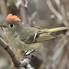 Ruby-crowned Kinglet Mammoth Lakes  2016 05 28-3.CR2