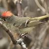 Ruby-crowned Kinglet Mammoth Lakes  2016 05 28-2.CR2
