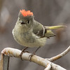 Ruby-crowned Kinglet Mammoth Lakes  2016 05 28-1.CR2