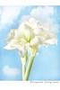 Amiryllis White