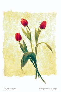 3 Tulips on Paper