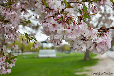 Cherry Blossoms and the Bandstand