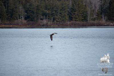 Powow Eagle 3-23-18