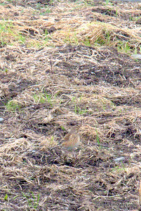 Reed Bunting (?)