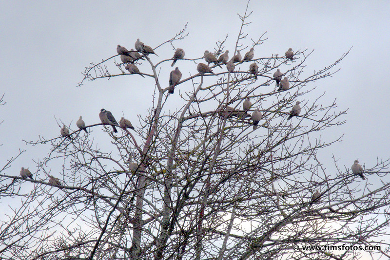 26 Collared Doves and 2 Woodpigeons 28 Dec 2017 Dublin Ireland