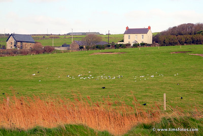 Mixed flock of Blck Headed Gulls, Herring Gulls, Rooks, Curlews and one oystercatcher