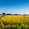 Kirk Bramwith rape seed field