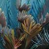 Encephalartos frederici-guilielmi (Eastern Cape Cycad)