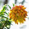 Liparia splendens susp. splendens (Mountain dahlia)