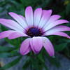 Osteospermum ecklonis (Blue-and-white daisy bush)