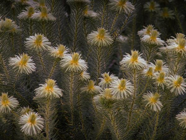 Phylica plumosa (or pubescens) (Veerkoppie)