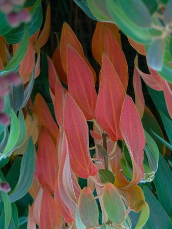 Tibouchina urvilleana (Brazilian glory bush)