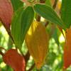 Tibouchina urvilleana (Brazilian glory bosh)