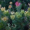 Leucadendron strobilinum (front) Leucadendron tinctum (mid)