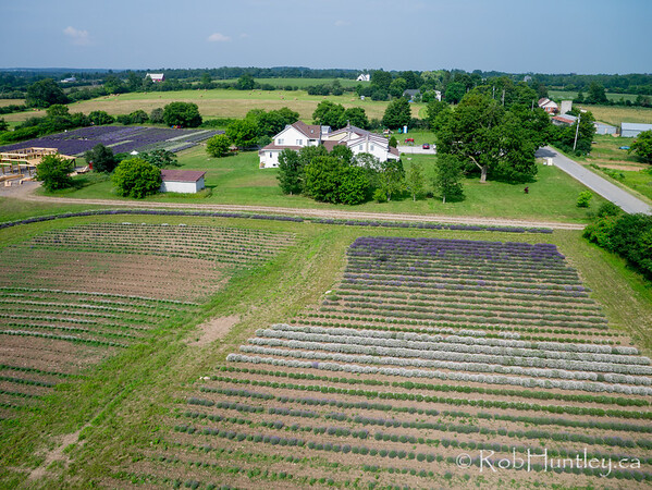 Field of Lavender  Aerial photography.