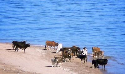 Cattle enjoying the Sea of Cortez