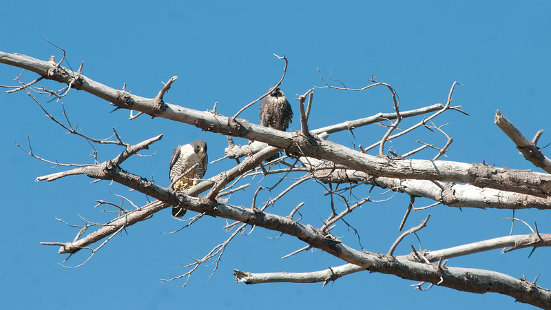 Peregrine falcon and fledgling