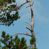 Peregrine falcons in pine tree