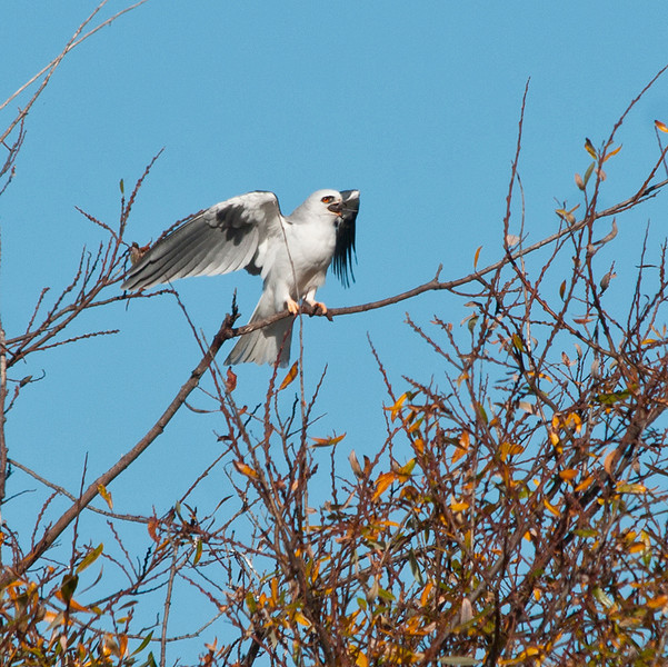 White-tailed kite just finishing lunch    1-5-2012