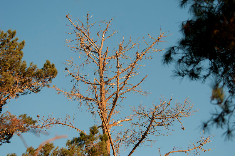 Two Peregrine falcons in the pine tree