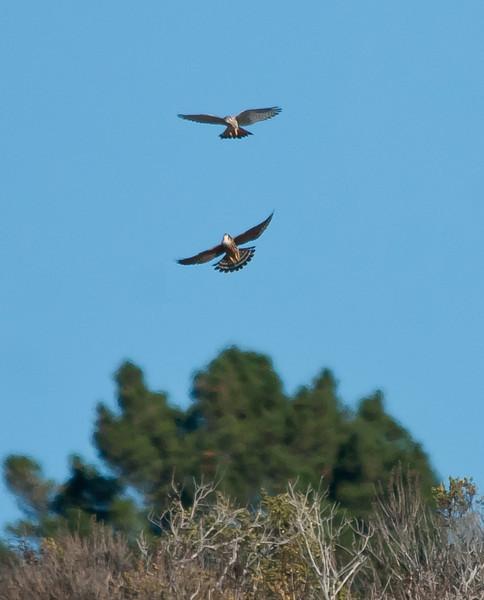 American kestrel aerobatics.<br /> September Ranch<br /> November4th