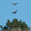 American kestrel aerobatics.<br /> September Ranch<br /> November4th