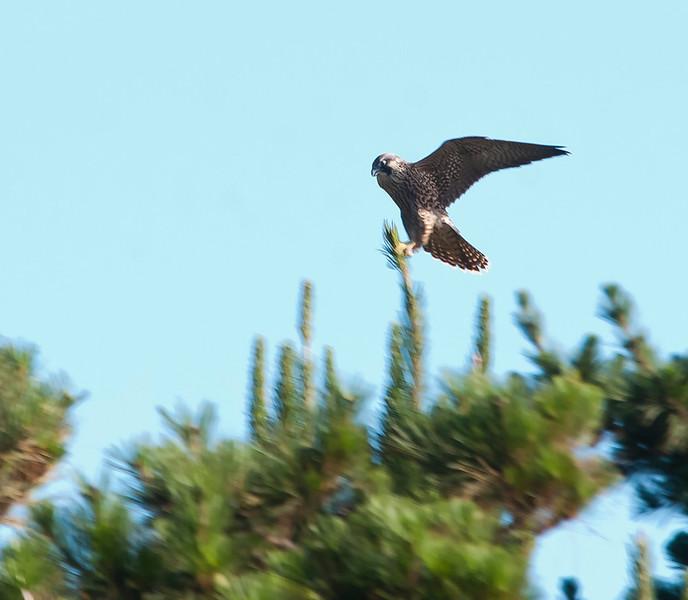 Pererine falcons