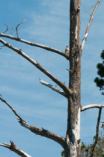 Peregrine falcon - fledgling