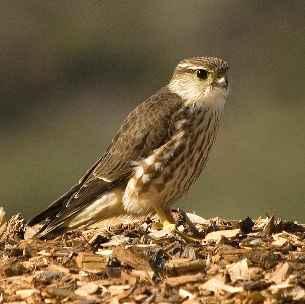 Merlin - female