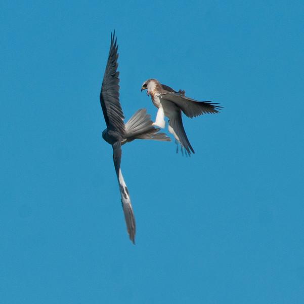 White-tailed kite juveniles - aerial play.   1-5-2012