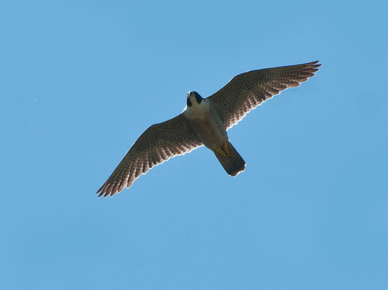 Peregrine falcon flying over the river