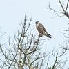 Peregerine falcon - fledgling