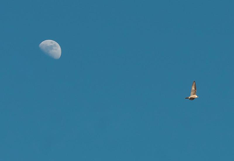 Moon and Peregrine falcon