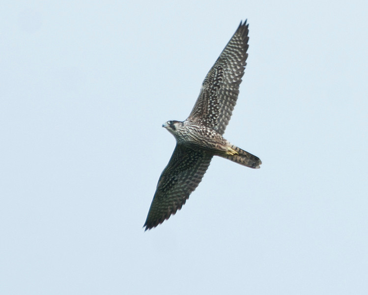 September Ranch<br /> 10-22-12<br /> Peregrine falcon