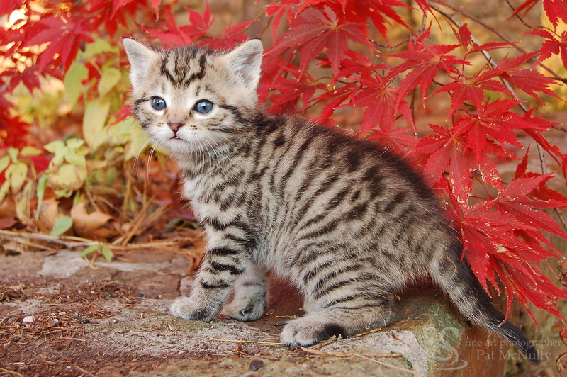 Grey Tiger Kitten Picture