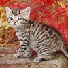 Grey Tiger Kitten Picture