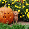 Kitten and Pumpkin Photograph