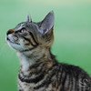 Tiger Kitten Picture