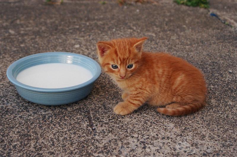 Kitten with Bowl of Milk