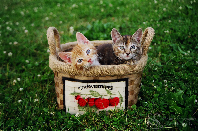 Kittens in a Basket Picture