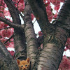 Kitten in Cherry Blossom Tree Picture