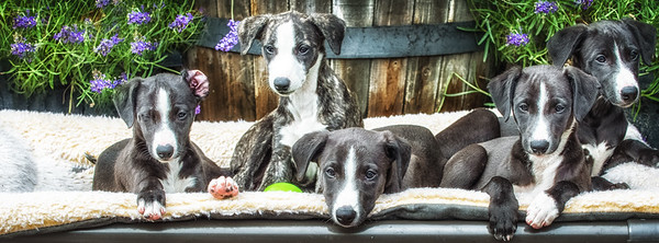 Kiwi and Zing Whippet Puppies 2015