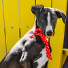 Mr Manly Whippet Puppy 2015