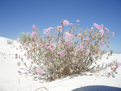 Pink Plant at White Sands