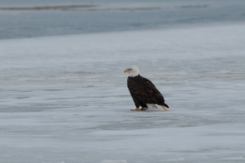 Bald Eagle on the Ice