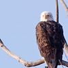 Bald Eagle Roosting in tree
