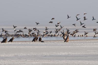 Bald Eagles feeding