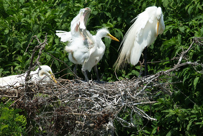 Baby Great egrets  High Island
