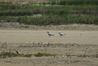 "Fred, ""What were those two terns?"" Gull-billed? Bolivar Peninsula"